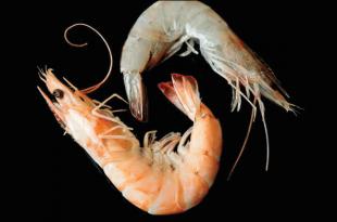 تفاوت میگو پرورشی با دریایی